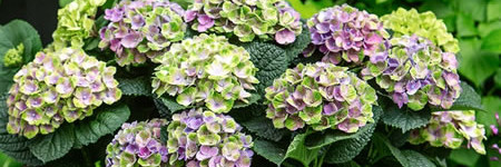 magical_hortensia
