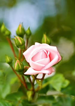 tuinplant_vd_maand_mei_roos2