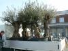 Oude olijfbomen voor in hardstenen bakken voor in binnentuin Middelharnis