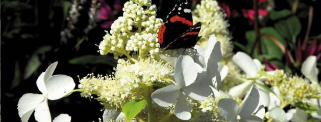Vrolijke vlinderhortensia