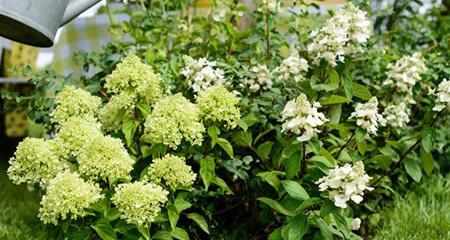 Tuinplant van de maand juni: Hortensia