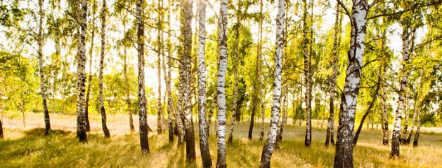Bloedende bomen snoeien