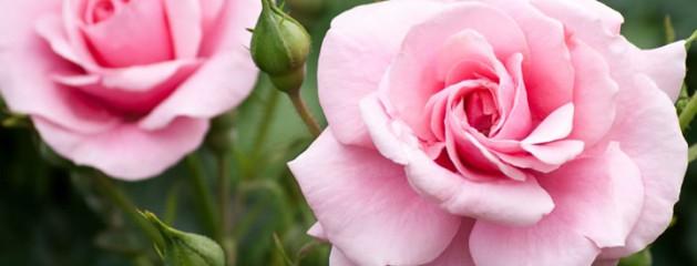 Geluksmoment: de eerste roos