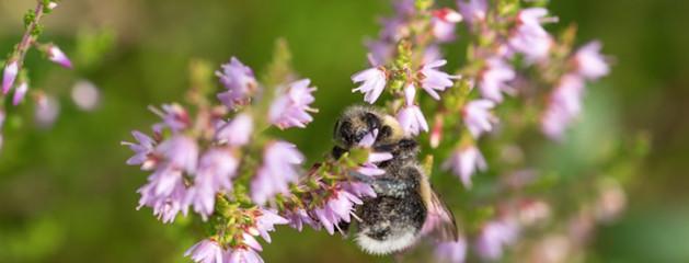 Tuinplant van de Maand september: Struikheide