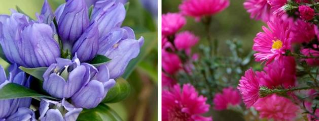 Laatbloeiende vaste planten brengen kleuren als edelstenen in de tuin