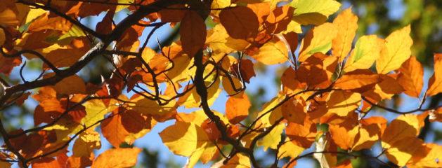 Planten in november: de beuk erin!