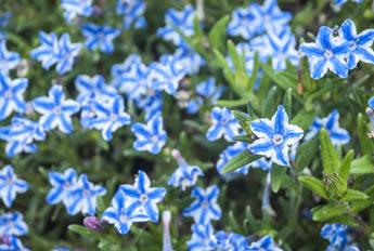 lithodorablauwplant - kopie